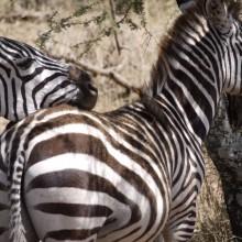 Foto_3,_2_Zebras