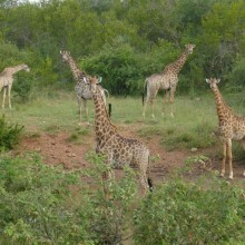 Foto_6,_Giraffengruppe